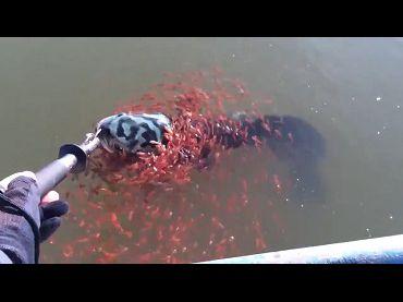 媽媽我們來救你!蛇頭魚被釣起,魚寶寶團結大對抗。