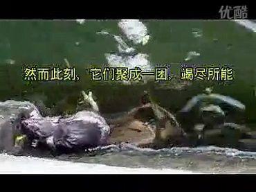 被放生的泥鳅托起水中小老鼠