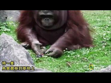 溫柔慈悲的紅毛猩猩
