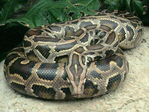以己善行感染家人合力解救一條大蟒蛇放生大自然(華波)