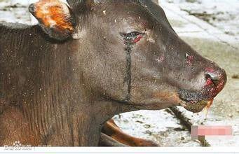 [網易新聞]原來農村殺牛,牛會哭是因為這些原因!不可思議