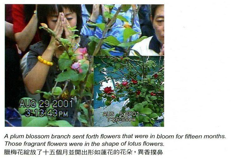 華藏學佛苑-夏天開放的臘梅花,你可感受到它的清涼?(西行人)